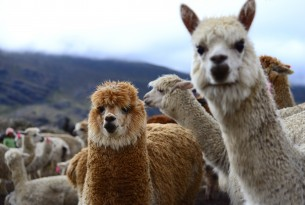 Alpacas in Bolivia's Andean region