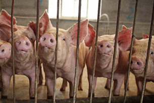 Major global food brands fail to make animal welfare improvements