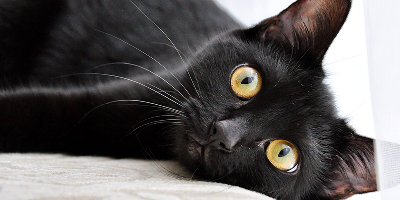 A black cat with amber eyes lying on a cream coloured bed
