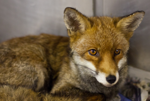 Fox in animal centre