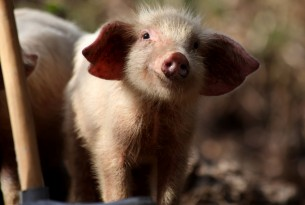 An up close photo of a piglet