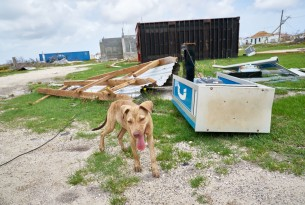A dog amongst rubble in Barbuda after Hurricane Irma - World Animal Protection - Disaster management