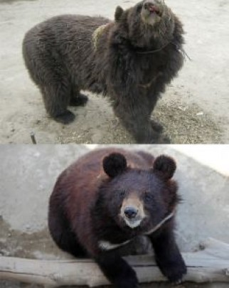 Rene, a bear we saved in 2012, pictured before and after her rescue