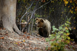 Bears to begin new lives in Romanian forest Sanctuary