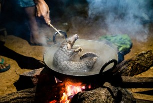 An unconscious pangolin is held by the next by poachers, being boiled while probably still alive.