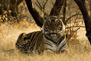 A tiger sitting in the grass