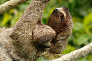 Wild sloth mother and infant sloth in the Amazon