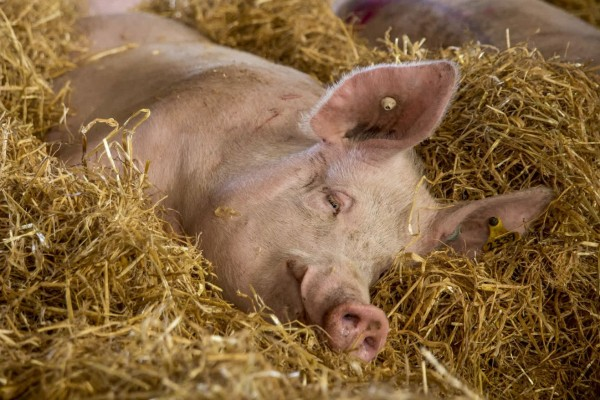 Pigs in group housing with enrichment