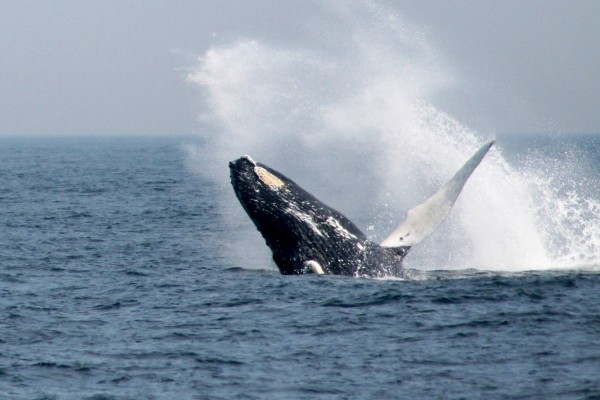 A humpback whale breaching off the coast of Massachusetts, US