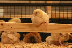 Chicks of healthy, slow-growing breed perching
