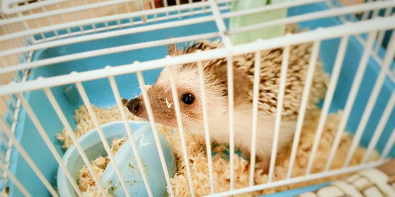 An African pygmy hedgehog in a small cage with white bars