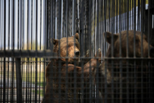 Two bears kept in barren cages at the  Onesti Zoo in Romania.