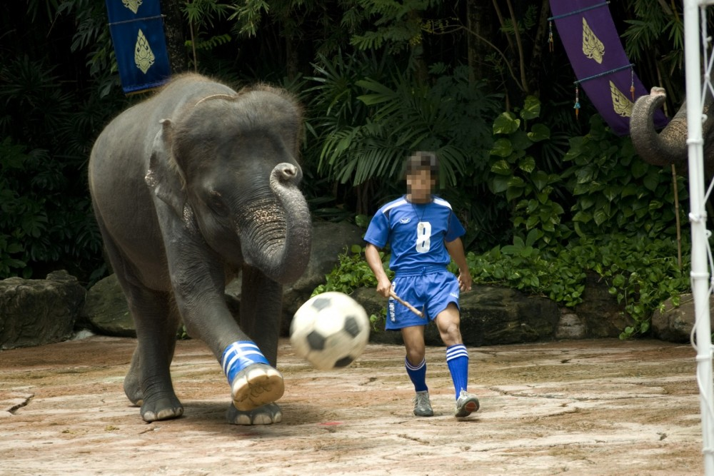 Elephant performing for tourists playing football - World Animal Protection