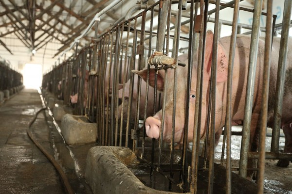 Tesco selling cruel pig products in Thailand