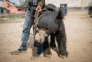 A man holding a dancing bear in Nepal