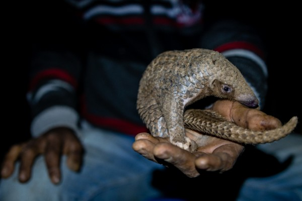 A pangolin captured in the African wild