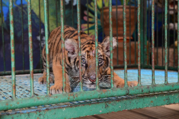Tiger in a small cage