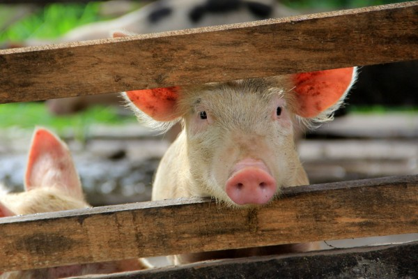 A pig in a high welfare farm