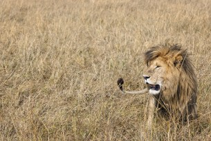 Lion - World Animal Protection
