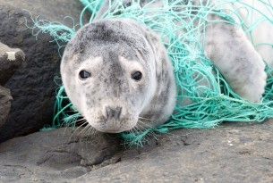 Seal tangled in ghost gear - World Animal Protection - Animals in the wild