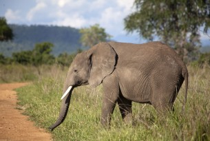 Elephant in the wild in Tanzania - World Animal Protection - Animals in the wild