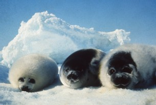EU ban on seal products upheld after appeal