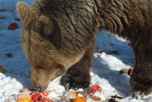 Pictured: a bear at the Romanian sanctuary