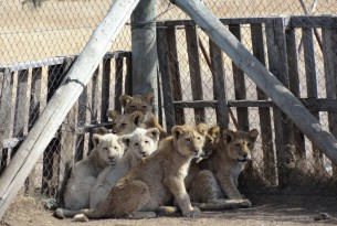 Captive lion cubs
