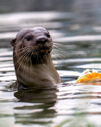 A wild smooth coated otter feeding on a fish in Singapore