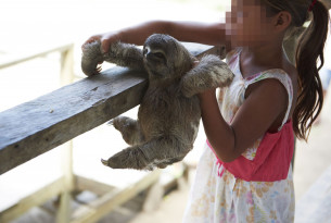 Local sloths are taken from the wild and used for harmful selfies with tourists, in Puerto Alegria, Peru.