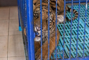 Tiger at wildlife tourist attraction in Thailand - World Animal Protection - Wildlife. Not entertainers