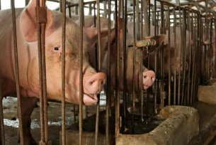 Mother pig looking through her cage on a factory farm - Raise Pigs Right - World Animal Protection