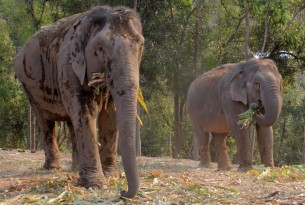 Elephants at ChangChill elephant venue in Thailand - Wildlife. Not entertainers - World Animal Protection