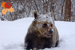 Bear in the snow.