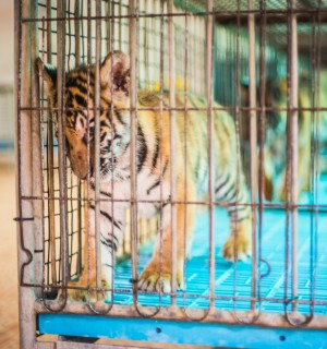 A tiger cub kept in a barren cage at a venue in Thailand.