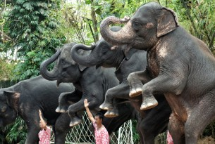 Three elephants stand on their back feet on small platforms at an entertainment venue in Thailand