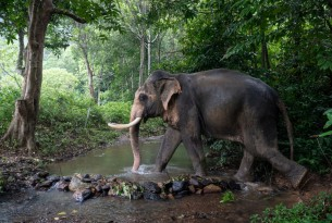 elephant walks through water at a high welfare venue in koh lanta thailand