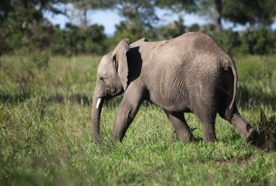 Elephant in Tanzania - World Animal Protection
