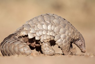 A wild pangolin walking in the dusty, dry ground