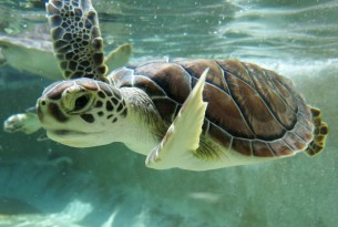 Young turtle in pool at Cayman Turtle Farm