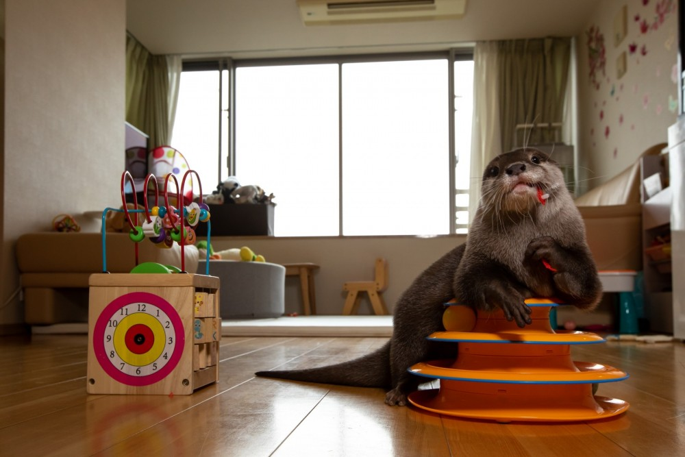 Pet otter chewing a toy in Japan - Wildlife. Not pets - World Animal Protection