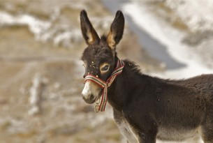 A donkey foal with a colourful noseband