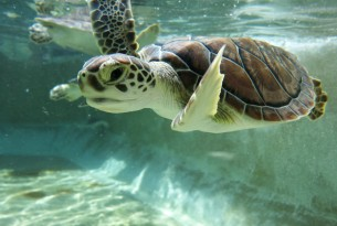 New research supports animal welfare concern for Cayman Farm sea turtles
