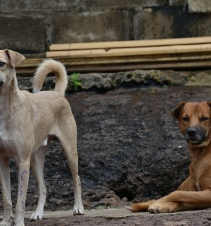 Community dogs in Freetown, Sierra Leone