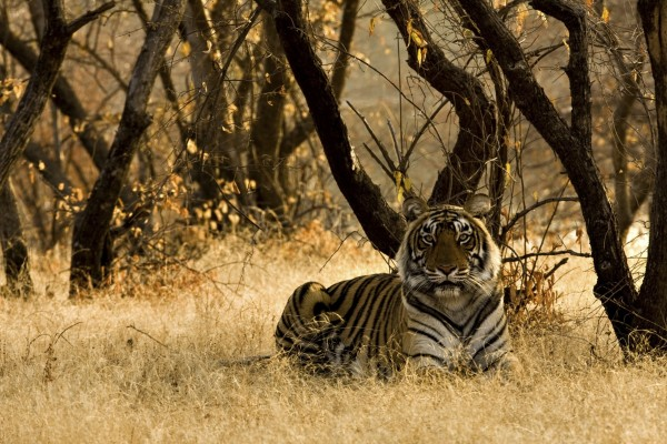 Caption: A wild tiger sitting on the dry grasses in a reserve in India. Credit: iStock. by Getty Images