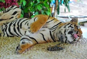 A tiger kept on a chain is used as a prop for photographs with tourists at an attraction in Bangkok, Thailand.