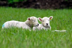 Two lambs in grass