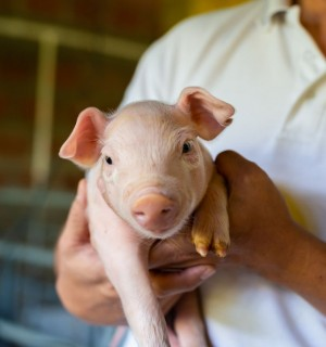 World Animal Protection team member holding piglet