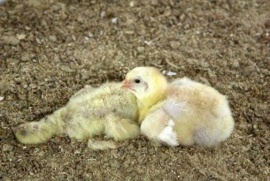 Chicks in an industrial farm