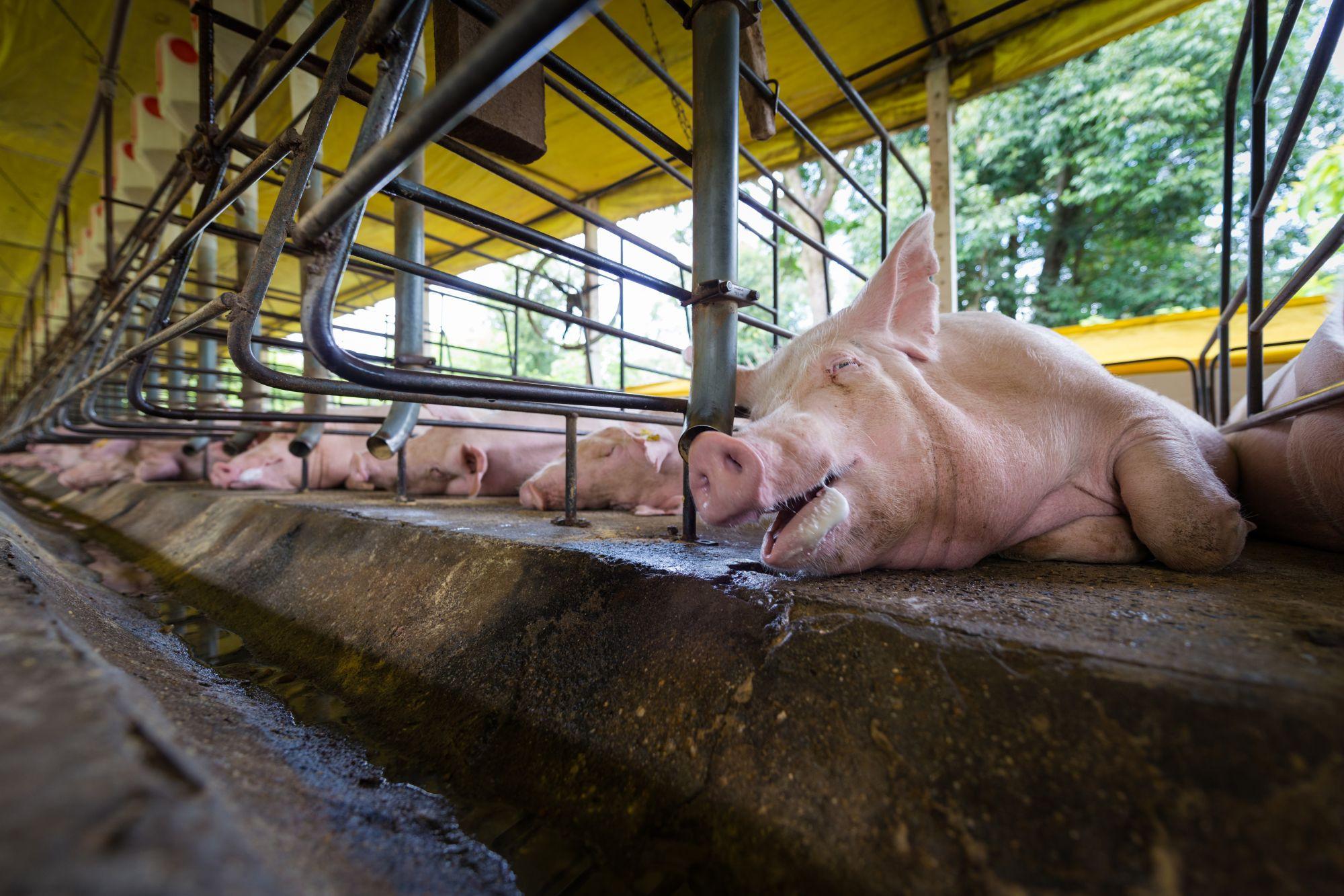 Pigs, Latin America